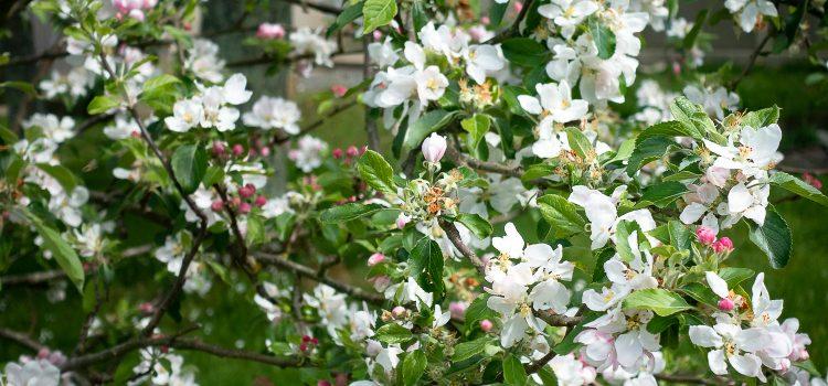 Nos pommiers sont en fleurs
